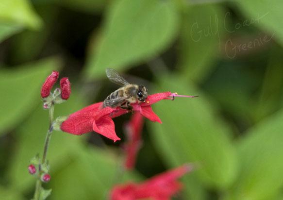 Bee_GCG
